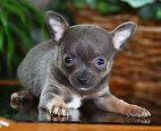 cute lovely chihuahua puppies ready for maket