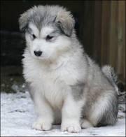 Alaskan Malamute Puppy for sale
