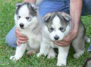 Male And Female Siberian Huskies puppies looking for new home