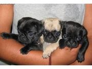 Gorgeous Fawn / Black coloured Pug puppies for adoption