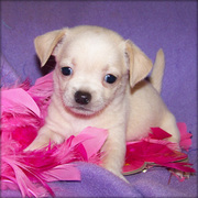 cute and adorable chihuahua puppies for adoption