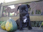 Pure Breed Pedigree Fawn/Black Pug Puppies Available